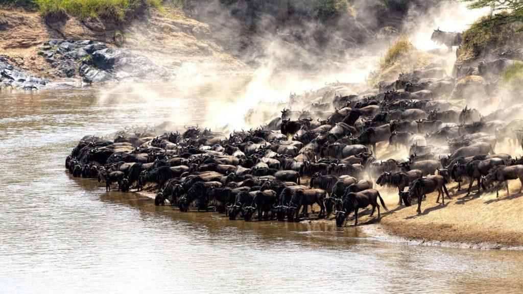 great migration herd of wildebeest crossing river Maasai Mara
