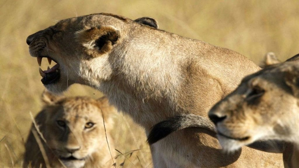three lionesses Maasai safari Kenya