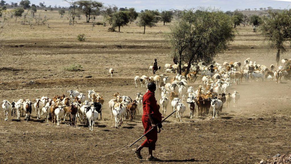 Maasai herdsmen with herd of cattle