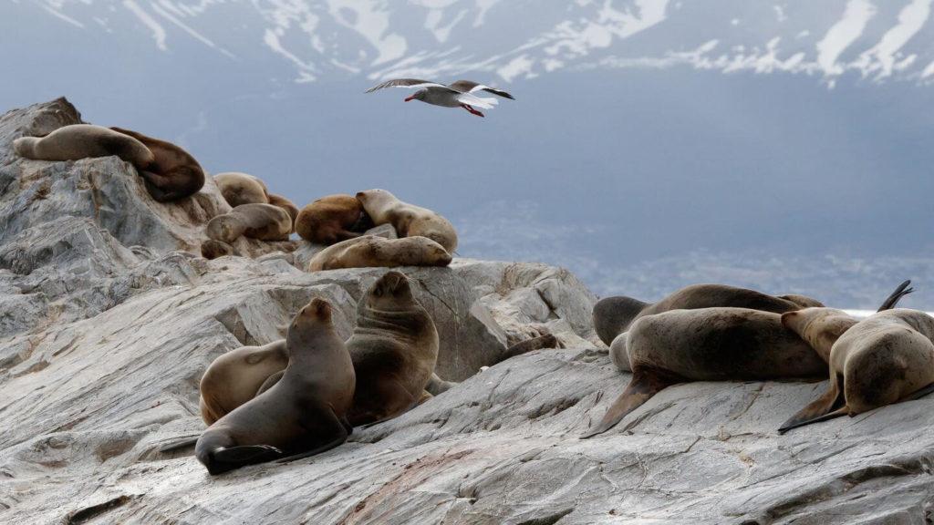 sea lion colony Ushuaia Patagonia Chile or Argentina