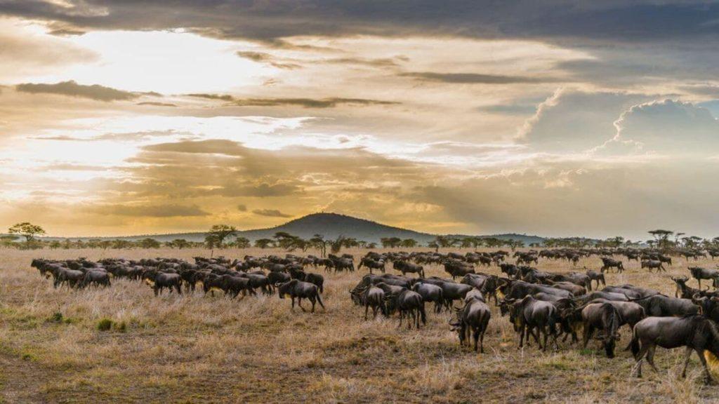 herds of wildebeest Great Migration Serengeti Tanzania