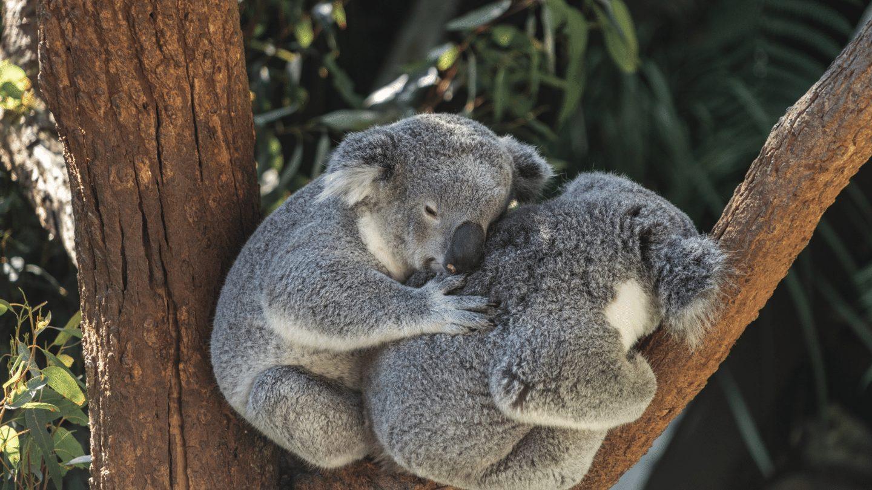 Two koala bears cuddling in a tree
