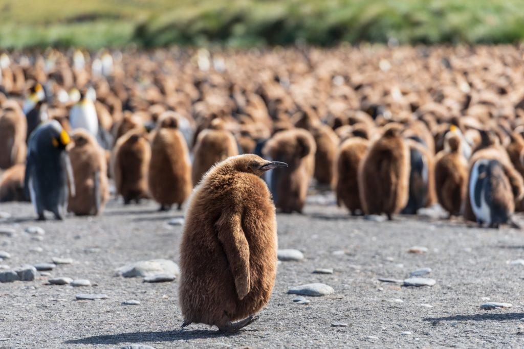 Penguin island, Australia
