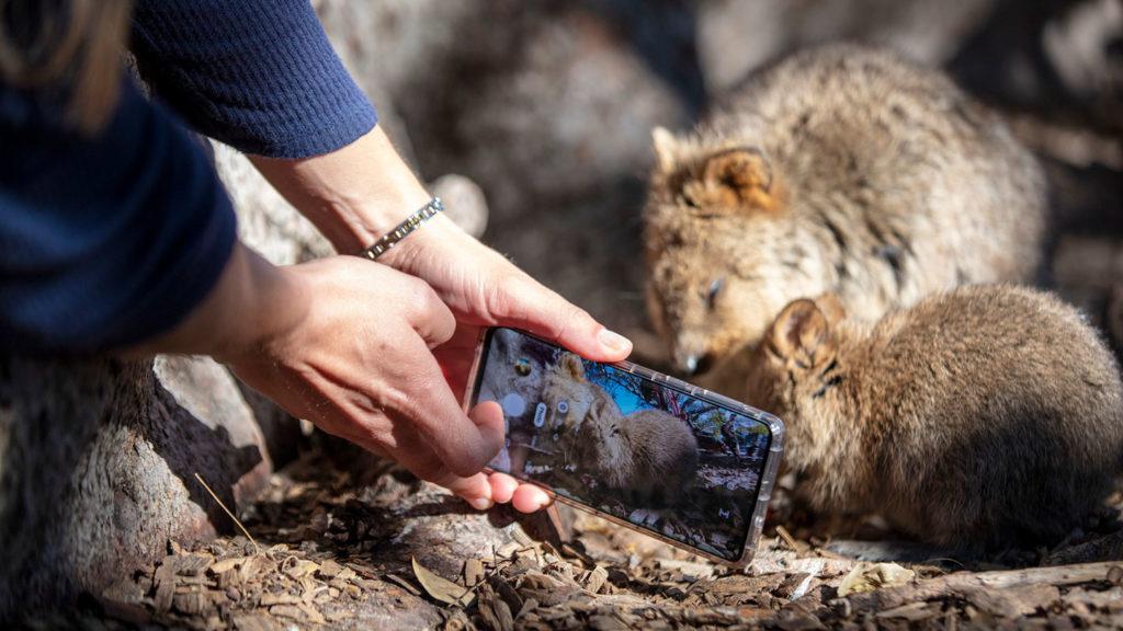 Quokka selfie - Credit Tourism Australia