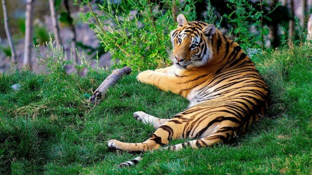 Bengal tiger laying in grass India