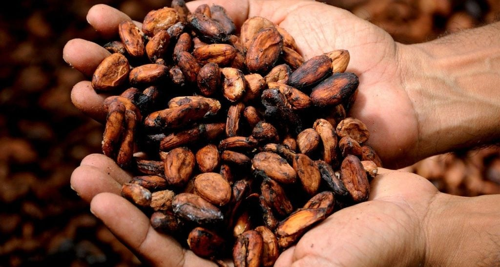 hands holding cacao beans