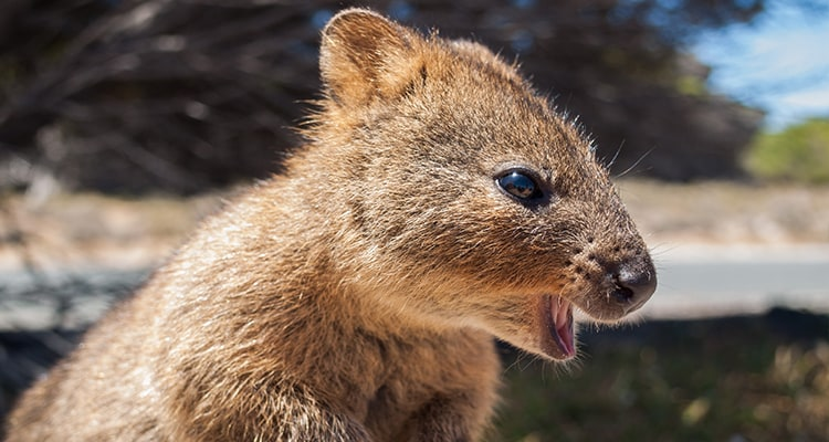 Fun facts about the Quokka, the happiest animal on earth