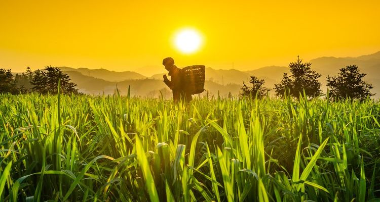 Chinese farmer in green fields at sunset history of China