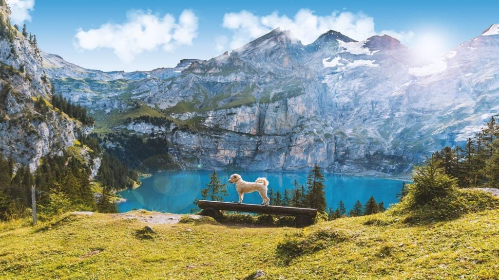 dog perched in front of blue Oeschinen Lake and mountains Switzerland