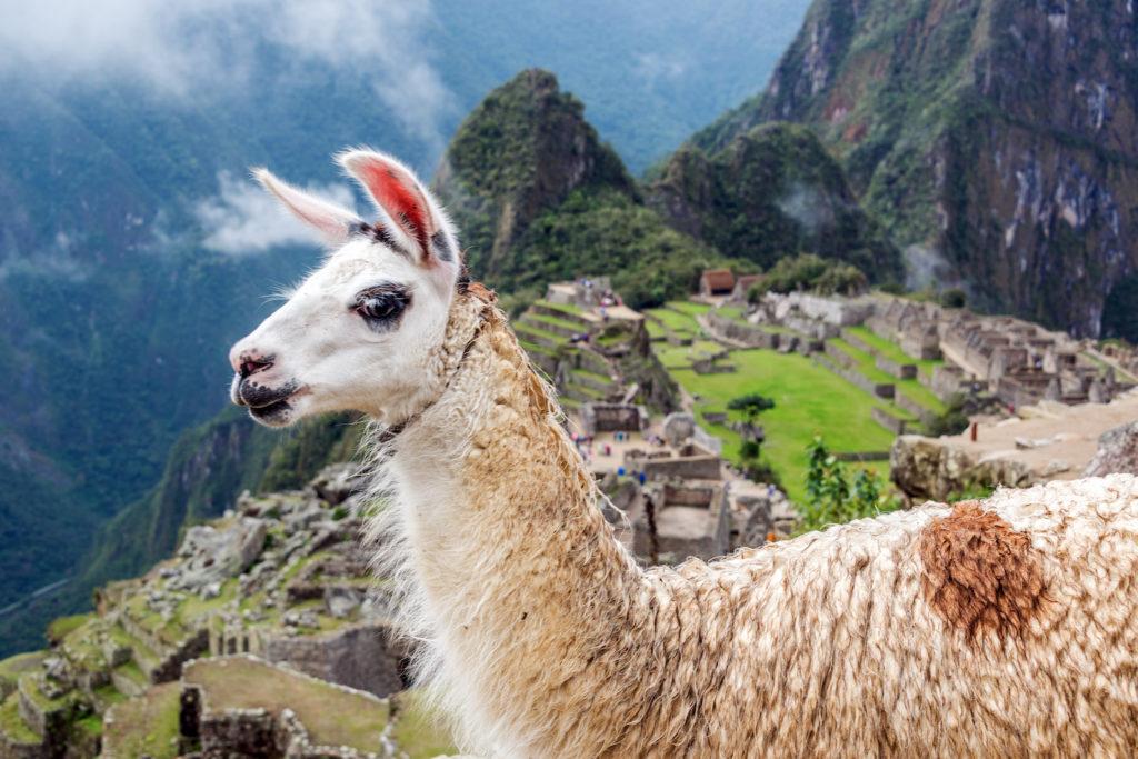 A local llama overlooks Machu Picchu