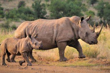 rhino and baby safari South Africa