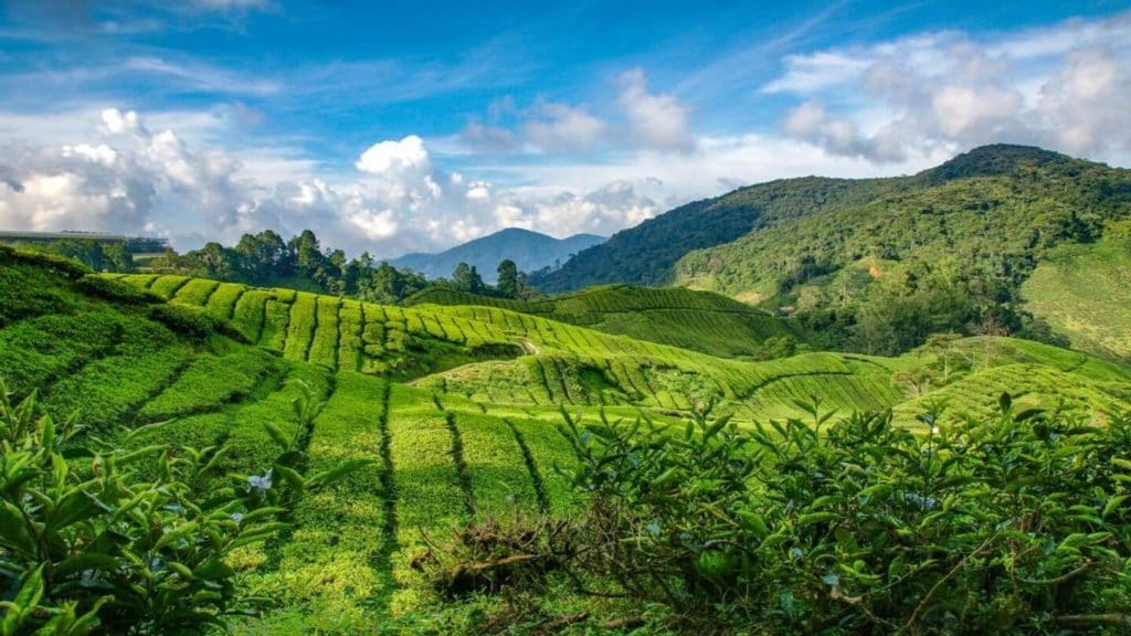 lush tea fields Cameron Highlands Malaysia