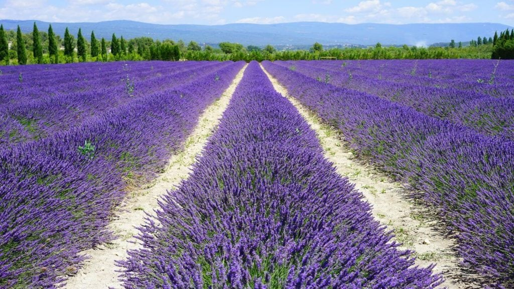 rows of lavender France Easter travel