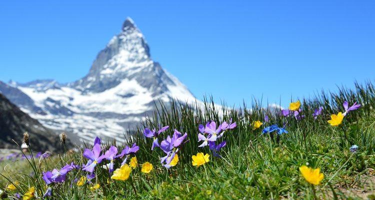 spring wildflowers Matterhorn peak Switzerland