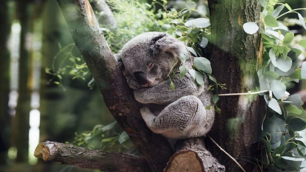 koala sleeping in eucalyptus tree