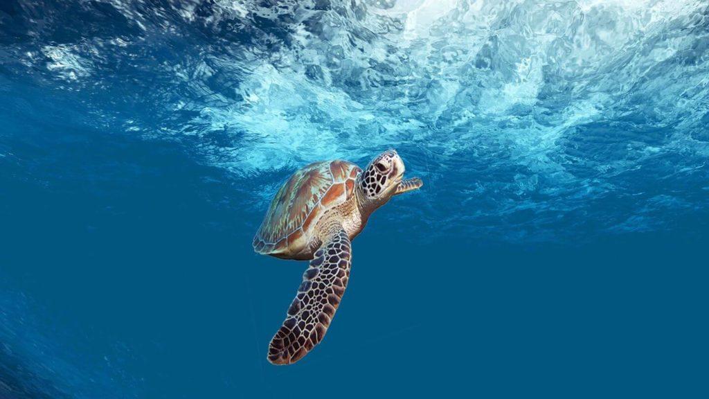 sea turtle swimming in blue ocean Belize