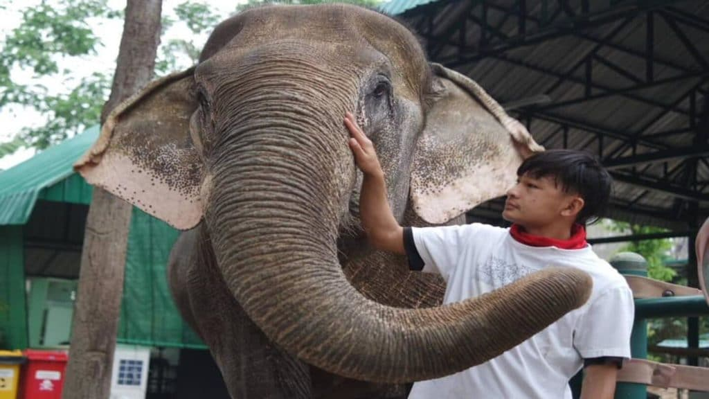 elephant and its keeper at Friends of the Asian Elephants Thailand