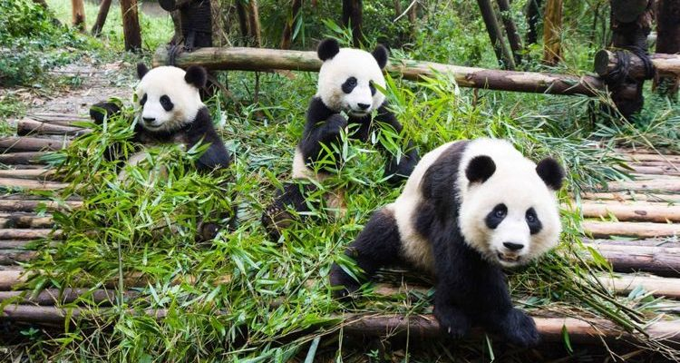 panda bears at Chengdu centre in China Asia with Trafalgar