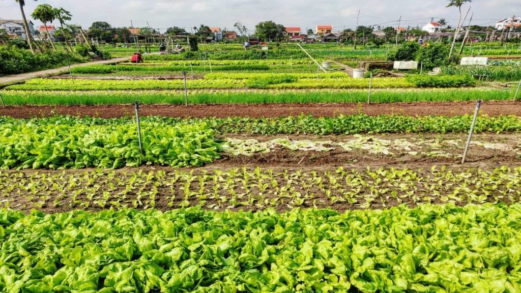 green vegetable gardens Thanh Dong Organic Village in Hoi An Vietnam