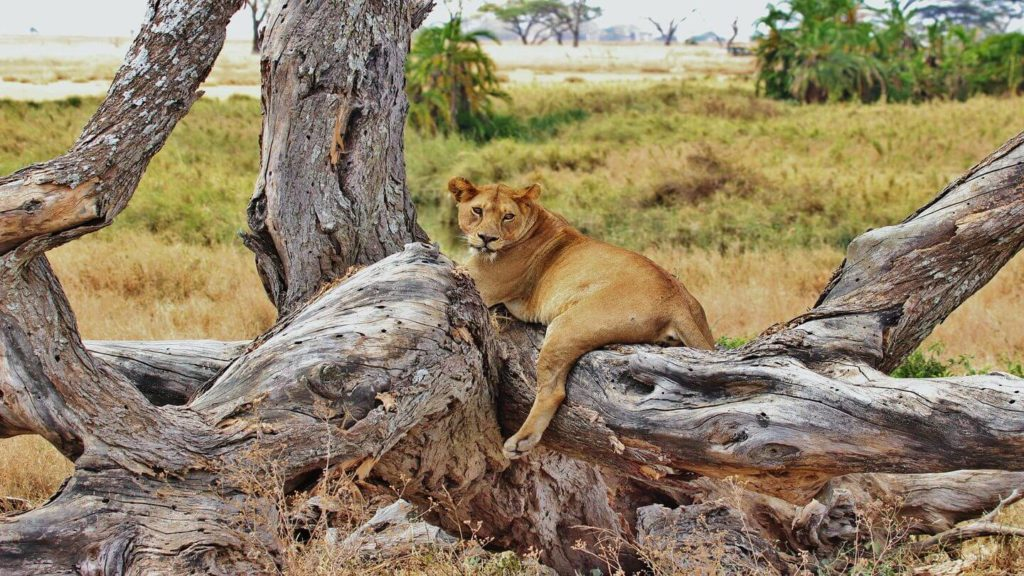 tree climbing lion Tanzania Africa