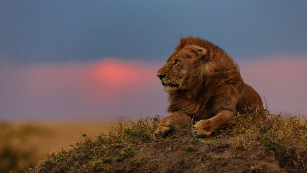lion looking out over the savannah at sunset Masai Mara Kenya