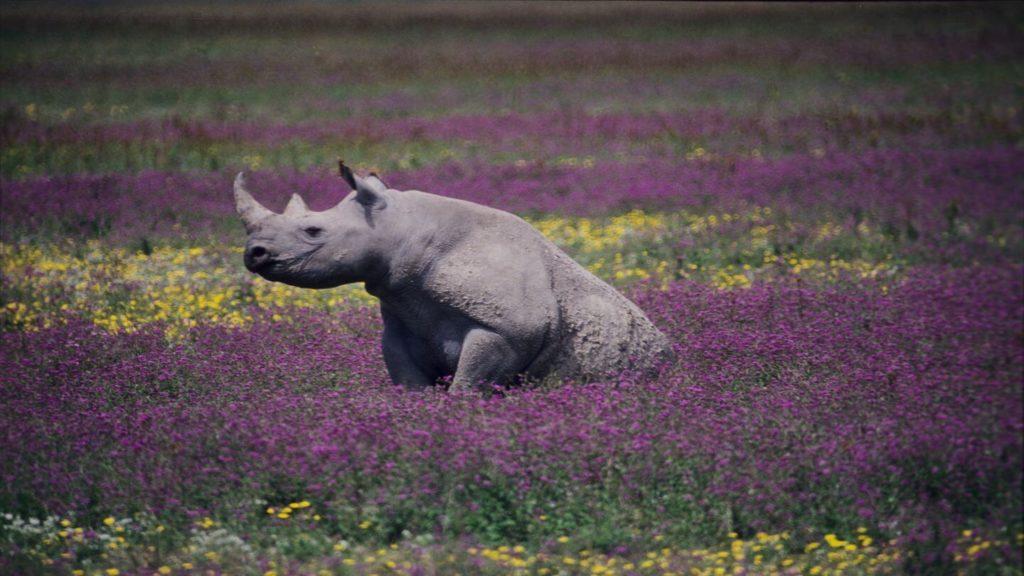 rhino in wildflower field in Ngorongoro Crater Tanzania