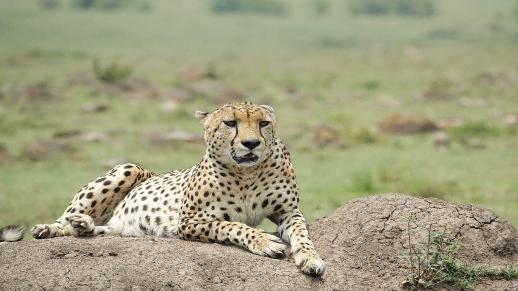 leopard in Maasai Mara Kenya