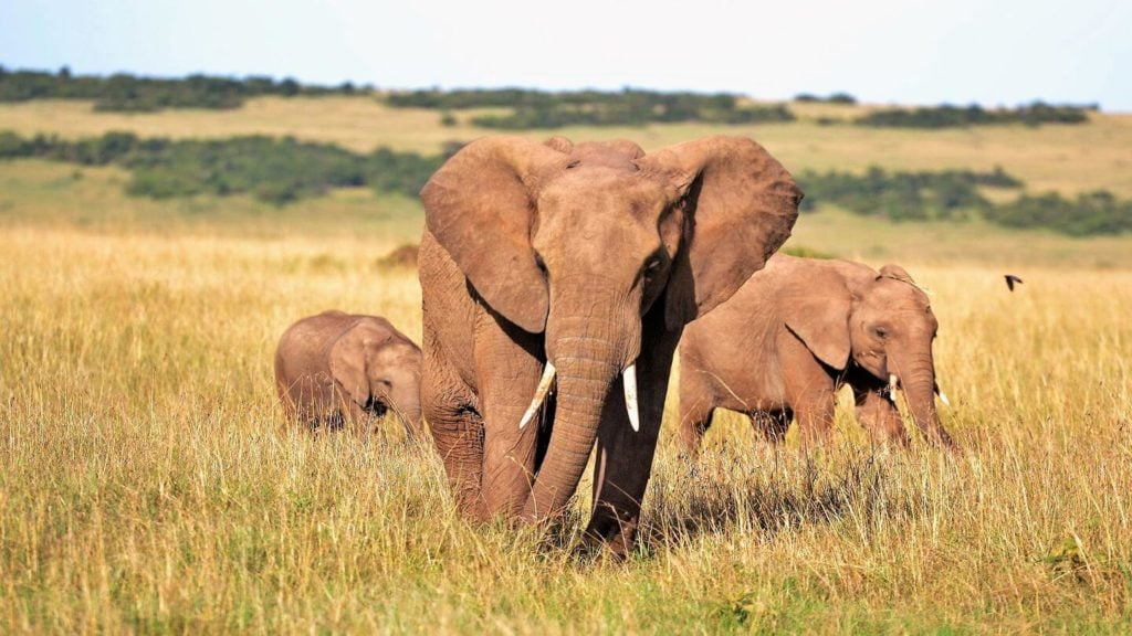 elephant mother with babies Kenya