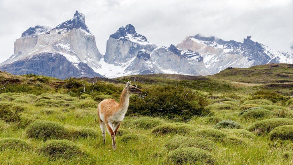 guanaco in Torres del Paine Chile