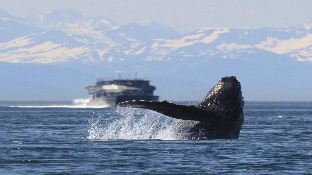 Humpback whale breaching the water Alaska