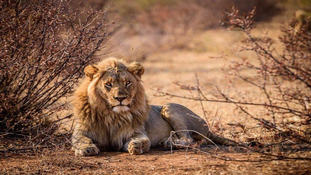 lion in Kruger National Park South Africa