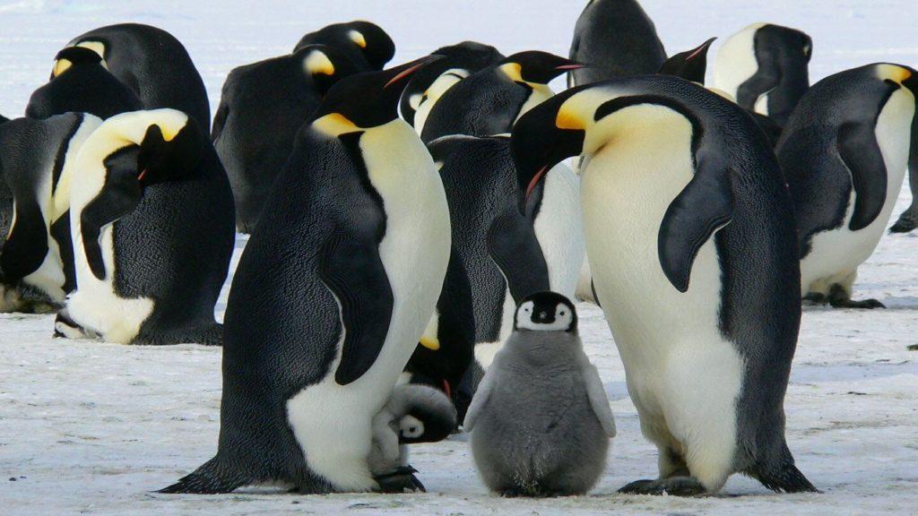 Emperor penguins with babies Antarctica