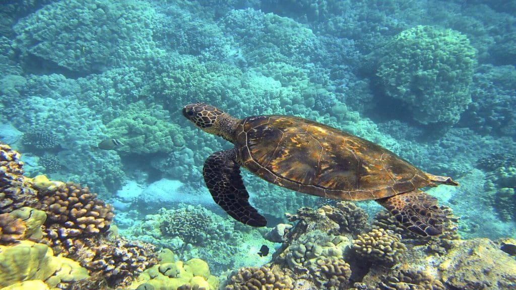 Hawaiian sea turtle swimming through a reef