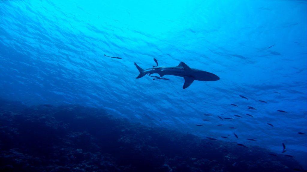 shark swimming in blue ocean Australia