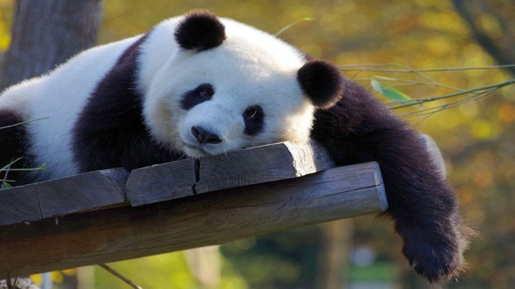 sleepy giant panda bear Chengdu China