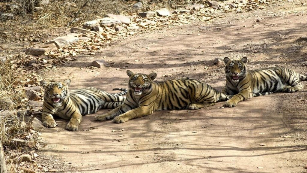 three tigers lounging in the shade Ranthambore National Park India