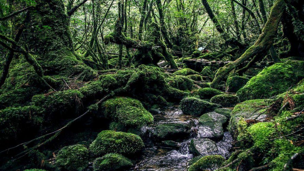 mossy rocks jungle Yakushima Island Japan