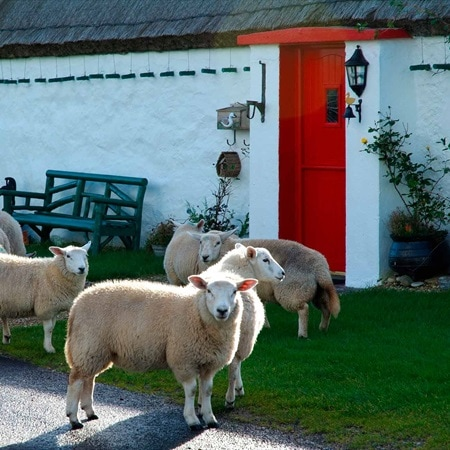 NorthernIreland CountyDonegal housesheep 2016 R 530641794