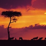 African Safari Adventure 1300x1300 RS19486_WILDEBE2